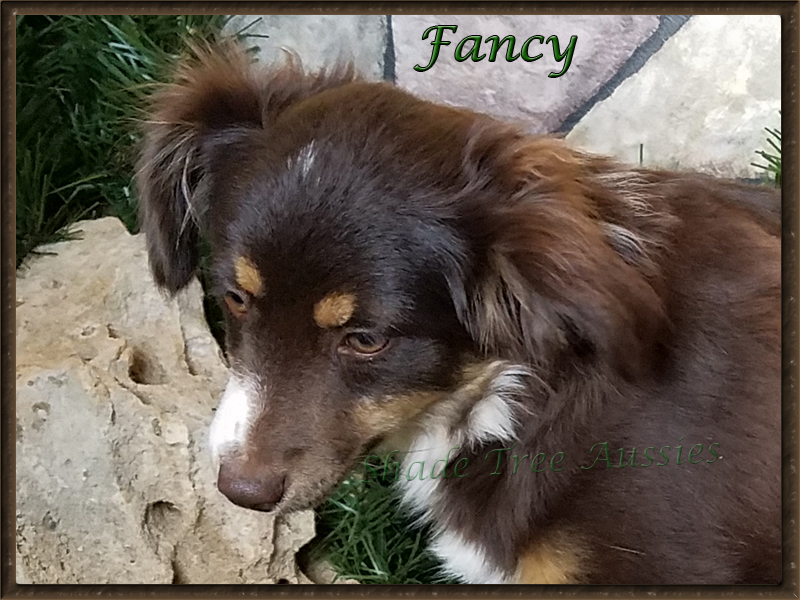 Fancy has the perfect Aussie eye and perfect length to height ratio.